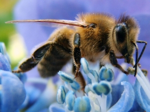 Apis_mellifera_on_blue