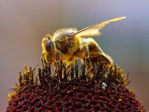 Apis_mellifera_on_red