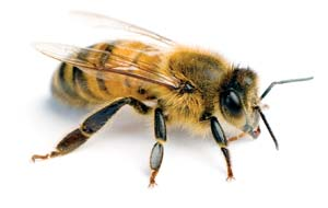 Apis_mellifera_worker