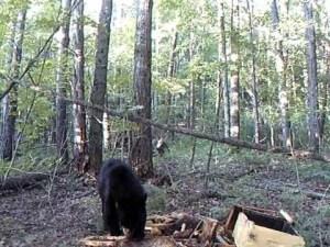 Black_bear_on_hive