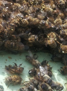 Fig 1. Bee corpses piled high